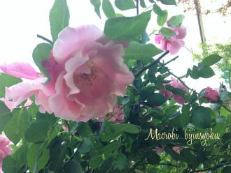 庭のバラ26年5月2