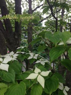 庭のヤマボウシ26年5月
